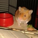 Dürfen wir vorstellen? Unser Hamster Karl-Gustav!