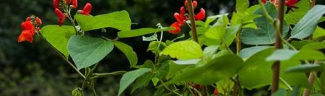 Blühende Feuerbohnen