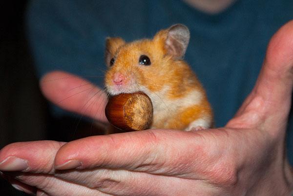 Hamster Karlchen mit seiner Nuss