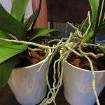 Orchideen-Frühling
