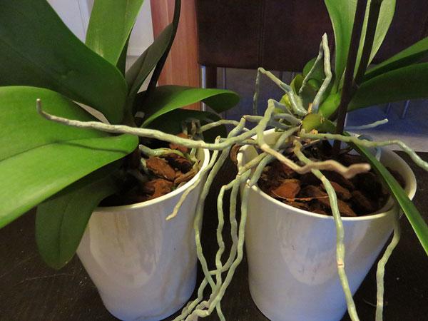 Orchideen im neuen Substrat