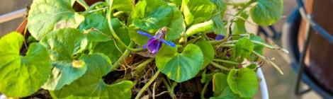 Blühendes Veilchen