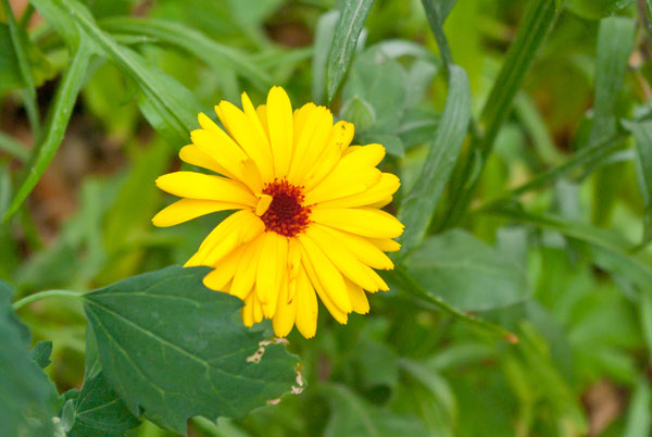 Blühende Ringelblume