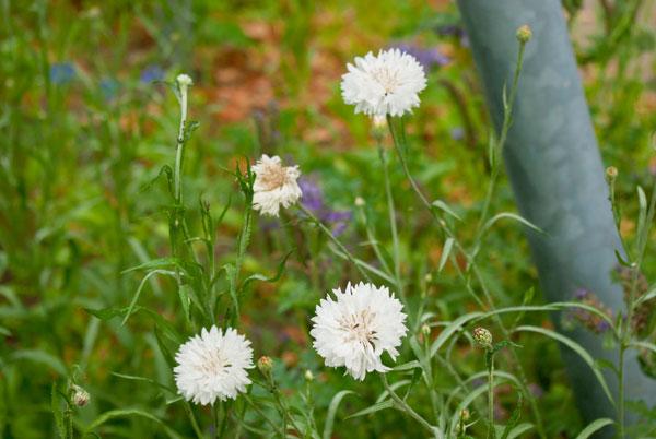 Weiße Kornblumen