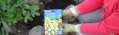 Narzissen einpflanzen