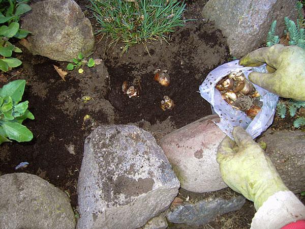 Zwiebeln einpflanzen