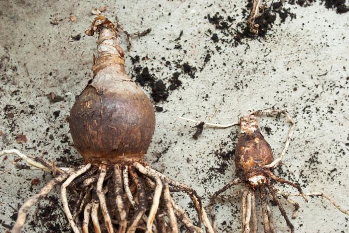 Mutter- und Tochterzwiebeln der Amaryllis