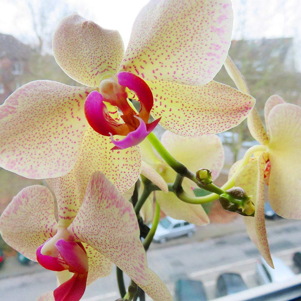 orchideenzauber auf der fensterbank wohnungsgarten. Black Bedroom Furniture Sets. Home Design Ideas