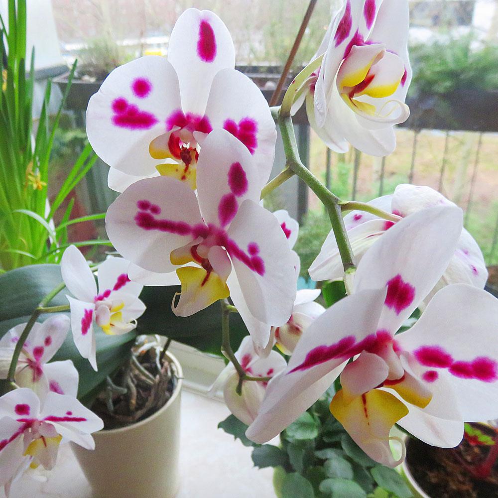 Diese Orchidee bekam ich von meinen Eltern geschenkt