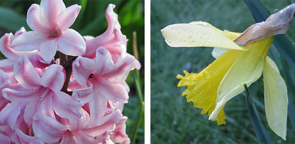 Hyazinthe und Osterglocke