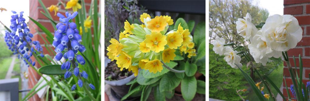 Frühlingsblüher: Perlhyazinthen, Schlüsselblume und Narzissen