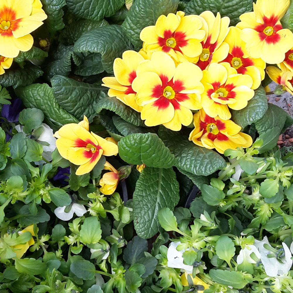 Volmary Blumenüberraschung - Primeln und Hornveilchen