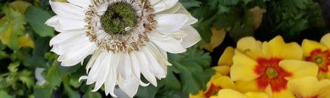 Volmary Blumenüberraschung - Primeln und Anemonen