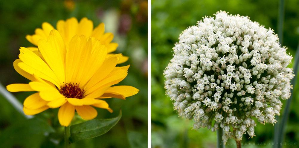 Ringelblume und Blüte einer Speisezwiebel