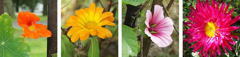Blüten im Bauerngarten