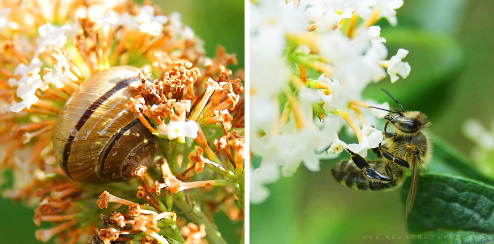 Schnecke und Biene am Sommerflieder
