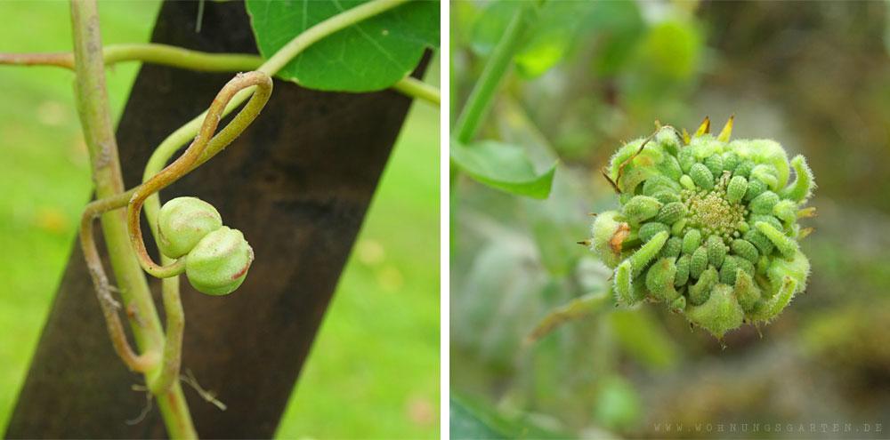 Samenstände von Kapuzinerkresse und Ringelblume