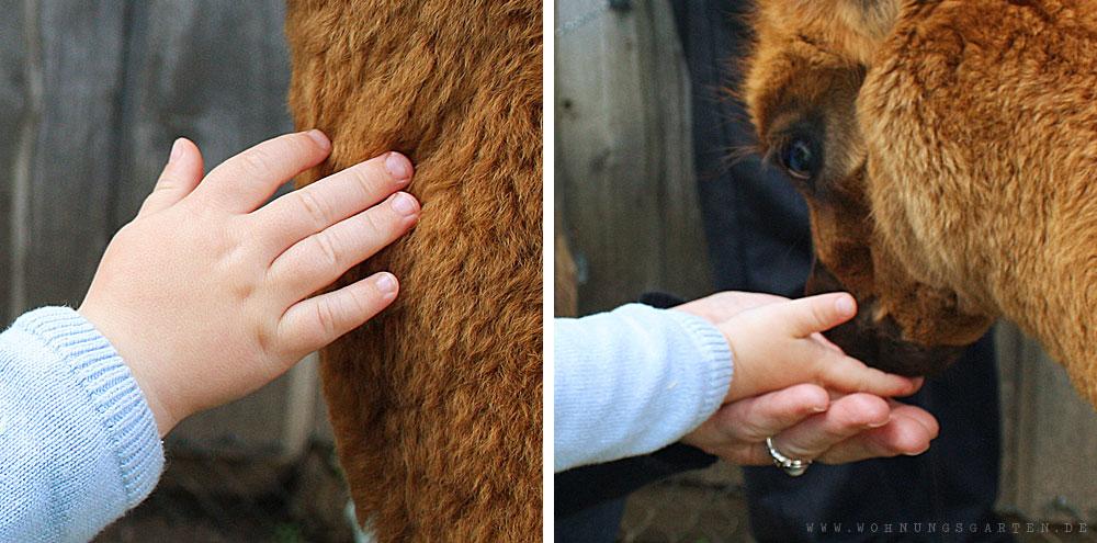 Alpakas füttern und streicheln