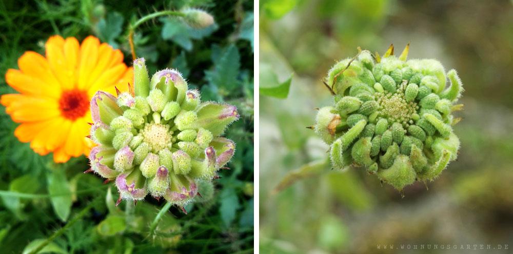 Samenstände der Ringelblume