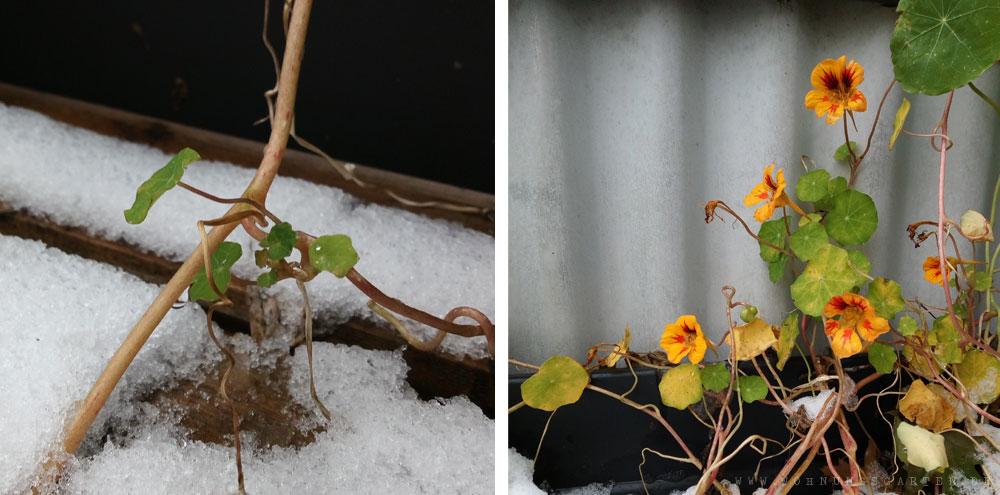 Kapuzinerkresse im Schnee