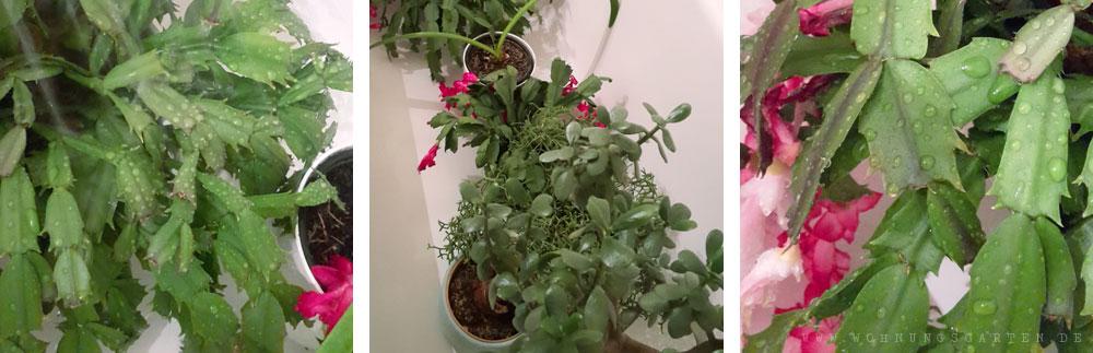 Zimmerpflanzen unter der Dusche