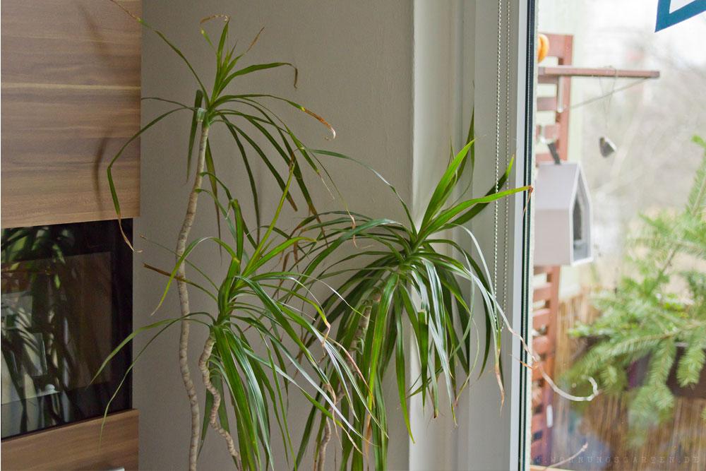 giftig oder nicht wir sortieren zimmerpflanzen wohnungsgarten. Black Bedroom Furniture Sets. Home Design Ideas