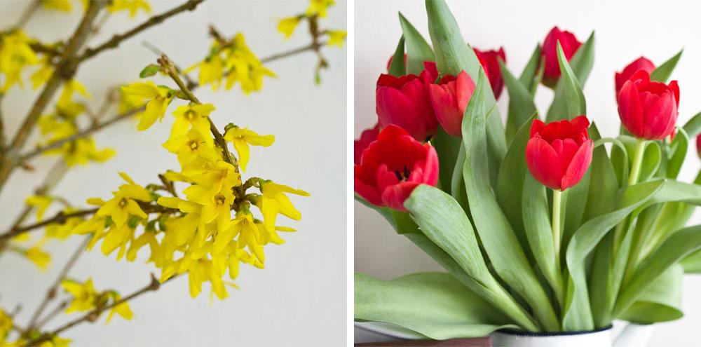 Forsythien und Tulpen