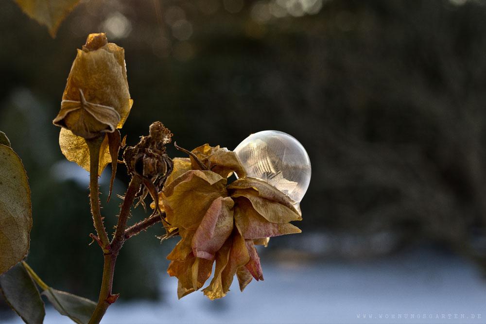 Seifenblase auf vertrockneten Rosen