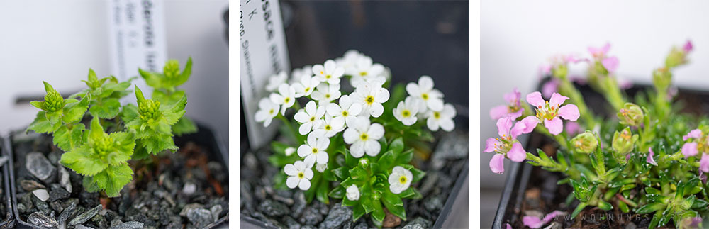 Blühende Alpenpflanzen