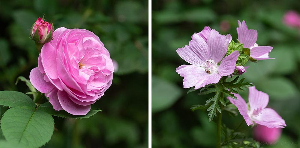 Rose und Moschusmalve
