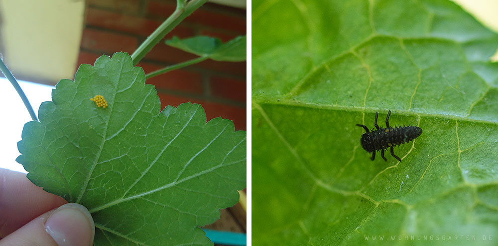Marienkäfereier und -larve