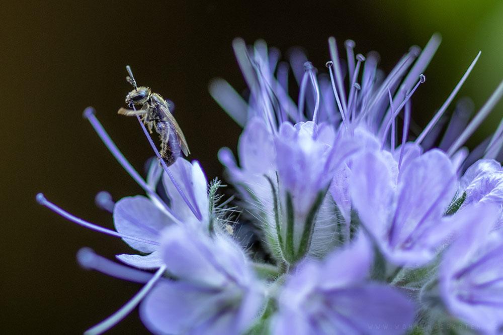 Bienchen in der Phacelia