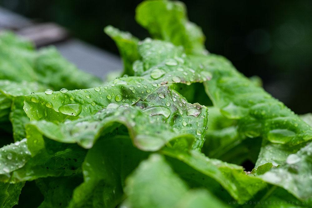 Regentropfen auf dem Salat