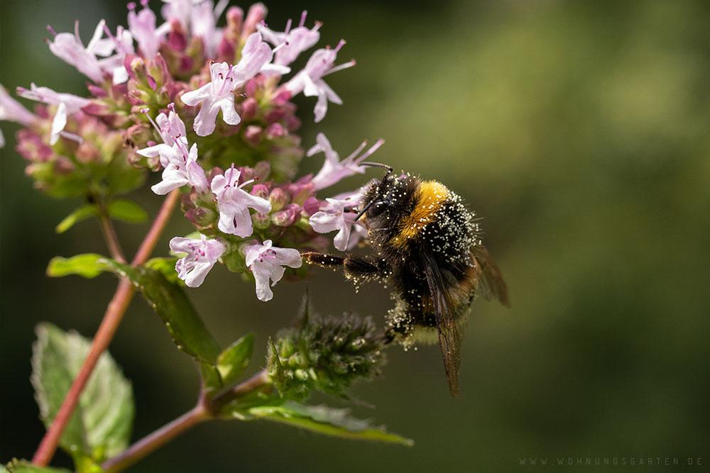 Pollenbedeckte Hummel am Oregano