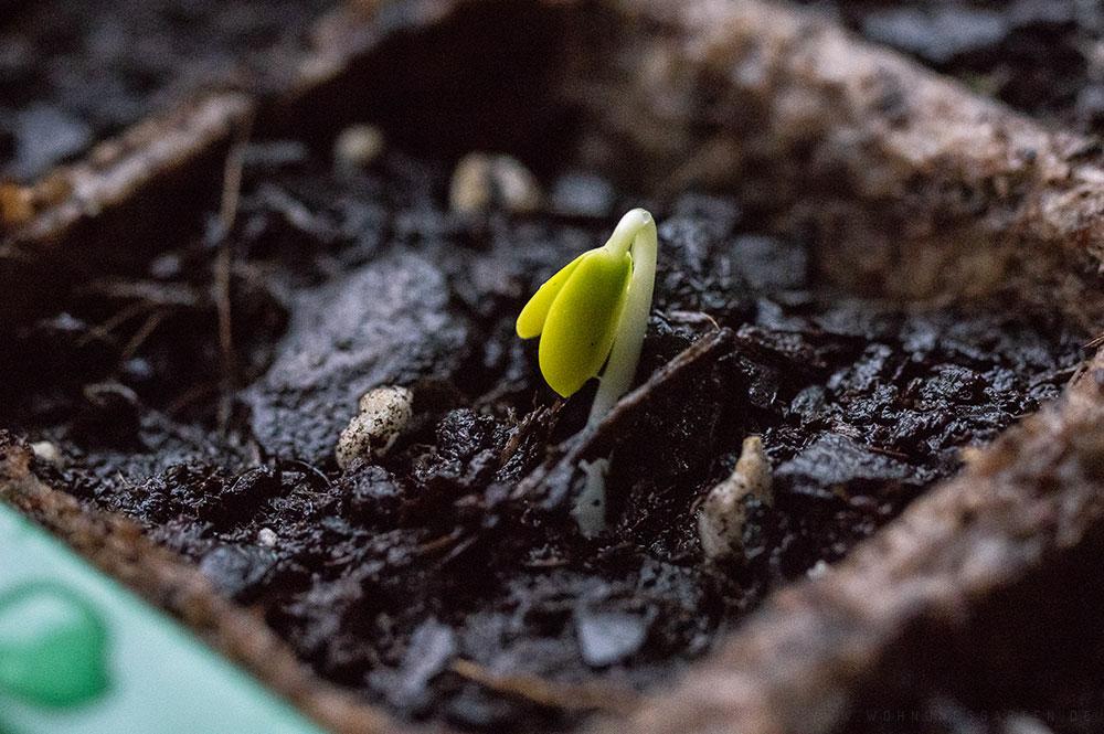 apfelkern einpflanzen